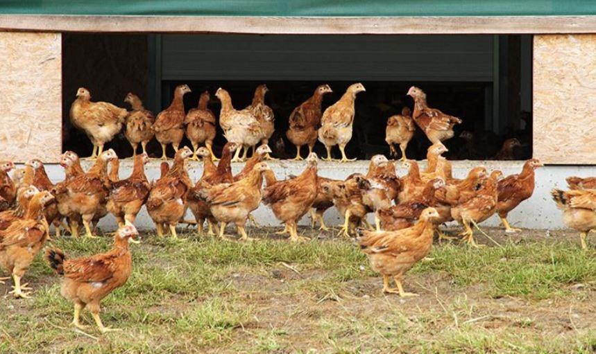 Freiland Mast  Hühner